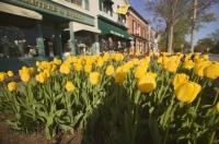 These beautiful spring flowers line the streets of Niagara on the Lake in Ontario, Canada.