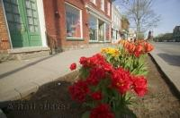 a variety of tulips herald the arrival of spring in Niagara on the Lake in Ontario, a great vacation spot in Canada for families or couples.