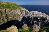 Bird Rock at Cape St Mary's Ecological Reserve on the Avalon Peninsula in Newfoundland is where the Northern Gannet Colony meet up to nest.