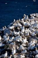Bird rock at Cape St Mary's Ecological Reserve in Newfoundland, Canada is where the Northern Gannets love to gather and nest.