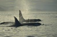 Northern Vancouver Island Killer Whales