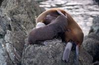 Nursing Fur Seal