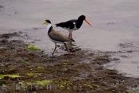 Bird Species Of New Zealand Spur Winged Plover Pied Oystercatcher South Island