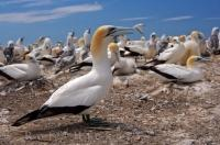 Australasian Gannets hang out on a cliff-top colony together at Cape Kidnappers, which is located in the Hawkes Bay on the North Island of New Zealand. Adults of this species can be identified by their white bodies with dark wing tips and yellow heads.