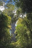 Tane Mahuta God Of The Forest Waipoua Forest