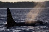 A Killer Whale leisurely surfaces in the ocean waters off Northern Vancouver Island, BC leaving his mist behind glistening in the sunlight.
