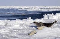 Ocean Animals Harp Seals Icefloe