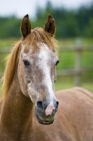 This is a portrait of a cute 25 year old horse, named Beau in Hyde Creek, Vancouver Island, British Columbia, Canada.