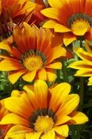 Bright Gazania flowers bloom annually in the gardens in Oliva, Valencia in Spain, Europe.