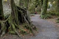 The protected Hoh Rainforest situated in the Olympic National Park on the Olympic Peninsula of Washington, USA.