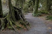 Some moss covered trees in the Hoh Rainforest in the Olympic National Park of Washington, USA.