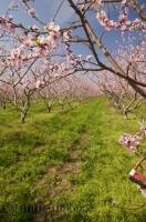 Passing through the countryside of Ontario during the spring is magical with orchards in full blossom.
