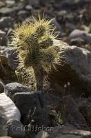 The scientific name for Teddy Bear Cholla Cactus is Opunti bigelovii seen here in Death Valley National Park, USA.