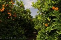 Orange Grove Valencia