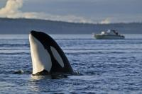 A Orca whale (Killer whale) spy hopping off northern Vancouver Island to see what is going on above the water, British Columbia.