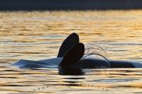 A cute orca whale performs some backstrokes during a whale watching trip at sunset just off Northern Vancouver Island, BC, Canada.