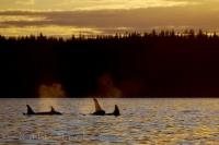 An Orca family enjoying the calm waters off Northern Vancouver Island in British Columbia at sunset.