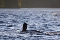 An Orca shows off his pectoral fin off Northern Vancouver Island in British Columbia, Canada.