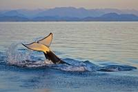 A show of excitement after a sea lion kill, a transient killer whale, aka Orca, lifts its tail up and splashes the surface of the water while swimming on its back and showing off the underside of the tail fluke.