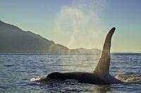 Orca Killer Whale Sunset Johnstone Strait