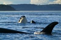 A group of three orca whales play in the sparkling waters of Vancouver Island. Orcas are among the long list of marine mammals found in this region.