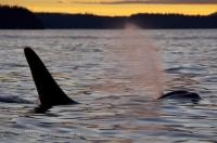 Orca Sunset Yellow Northern Vancouver Island Canada