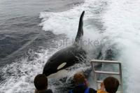 Photo of a Killer whale surfing behind a whale watching boat