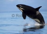 Photo of an Orca whale at a Vancouver Island whale watching tour in British Columbia.