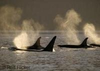 Photo of Orca Whales in the sun taken on a whale watching tour off Vancouver Island