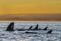 A northern resident killer whale pod (orcas) enjoying a beautiful sunset in a resting line in Johnstone Strait, British Columbia, Canada.