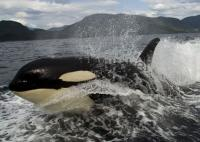 Stock of Killer Whale Pics, Surfing Orca