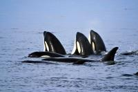 Stock photo of Orcas, spyhopping