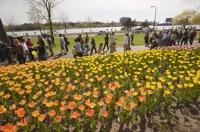The brillant colours of the tulips at the annual Ottawa Tulip Festival draws visitors from Ontario and the world.