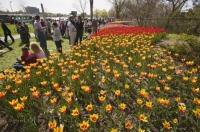 A sea of colourful tulips await at the Ottawa Tulip Festival held in the Ontario city each year, a must see tourist attraction.