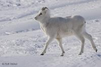 A Dall Sheep, aka Ovis Dalli Dalli, treks in the snow covered landscape of Atigun Pass on the North Slope in Alaska, USA.
