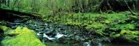 A panoramic picture of a stream in the rainforest of the Queen Charlotte Islands in British Columbia