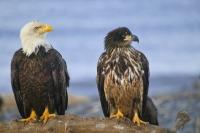 A symbol of strength, pride and in this case unity, in the USA - two bald eagles (an adult and juvenile) sit side by side on an old tree stump along the beach in Homer, Alaska with the waters of Kachemak Bay in the background.