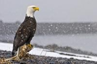 Stock photo of Peace Symbols, a proud bald eagle sitting during a winter snow storm on the beach.