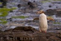 One of the New Zealand penguins, the rarest, the yellow eyed penguin is drying its feathers after a long day at sea.
