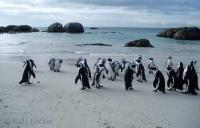 Penguins on Boulders Beach of South Africa