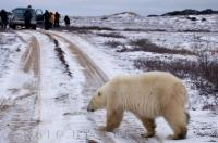A group of enthusiastic photographers capture images of a young polar bear during a workshop in the Churchill Wildlife Management Area of Manitoba.