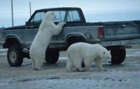 Who is watching who, Polar Bears in Manitoba, Churchill