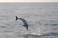 Playful Dusky Dolphin in the South Pacific off the New Zealand (Kaikoura) coast.