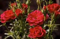 Red roses beginning to bloom is a picture of beauty in the village of Oliva Nova in Valencia, Spain in Europe.