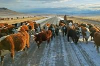 Cattle Drives on the Historic Cowboy Trail are