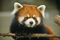 Red Panda's are native to China and definately belong in the category of really cute animals as you can see
