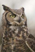 Mostly active from dusk, this Great Horned Owl was awake and keeping an eye on us at the Edmonton Zoo in Alberta.