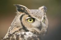 This beautiful bird is more known under its name Great Horned Owl.