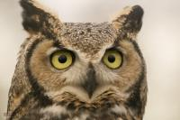 Among the top birds of prey, the Great Horned Owl generally becomes most active from dusk.