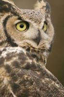 A Great Horned Owl poses for some pictures while keeping a wide eye on its surroundings in Edmonton, Alberta, Canada.